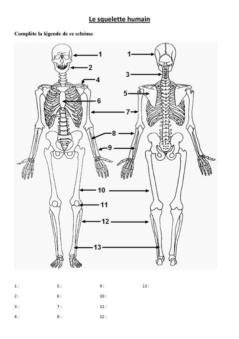 Schéma squelette humain à compléter cycle 3