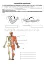 Exercice Les mouvements corporels (muscles et squelette) : CM1