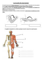 Muscles du corps humain – Exercices – Sciences : 3eme, 4eme Primaire